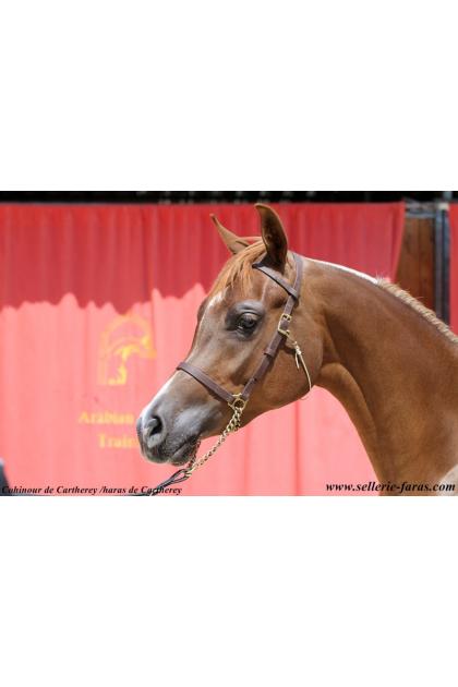 arabian horse schoolinh halter